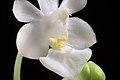 Phalaenopsis parishii fma. alba (x self) Rchb.f., Bot. Zeitung (Berlin) 23- 146 (1865) (34727728884).jpg