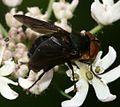 Phasia hemiptera (Shieldbug Fly) - male - Flickr - S. Rae (7).jpg