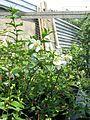 Philadelphus x lemoinei Erectus - Flickr - peganum (4).jpg