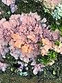 Phlebia radiata 61487904.jpg