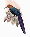 Phoeniculus castaneiceps-Keulemans