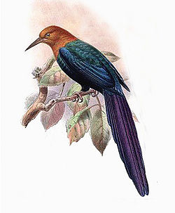 Illustration av John Gerrard Keulemans.