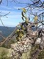 Phoradendron tomentosum (40817140894).jpg