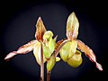 Phragmipedium sargentianum 'Really Red' x self (42179071342).jpg