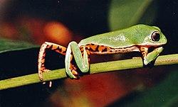 Phyllomedusa azurea