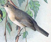 Phylloscopus sindianus 1889-cropped.jpg