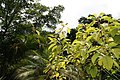 Phytolacca dioica 18zz.jpg