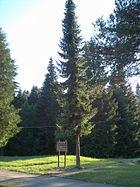 Picea omorika2