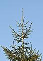 Picea orientalis - Doğu Ladini - Oriental Spruce 01.JPG