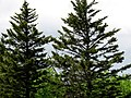 Picea rubens Bunion Trail Great Smoky Mts.jpg