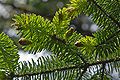 Picea sitchensis Wild Pacific Trail, Ucluelet 4.jpg