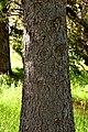 Picea smithiana 01.jpg