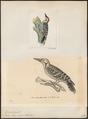 Picus macei - - Print - Iconographia Zoologica - Special Collections University of Amsterdam - UBA01 IZ18700067.tif