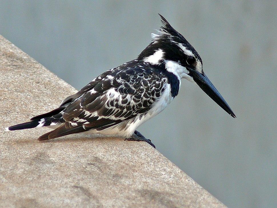 Pied Kingfisher (Ceryle rudis) (6041387764)