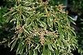 Pieris japonica Variegata 3zz.jpg