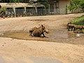 Piggies (393888632).jpg
