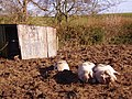Piggy heaven - geograph.org.uk - 650288.jpg