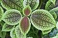 Pilea involucrata, Jardín Botánico de Múnich, Alemania, 2013-01-27, DD 01.jpg