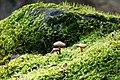 Pilze im Moos auf Basalt.jpg