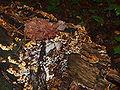 Pilze zersetzen einen Baum.JPG