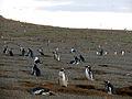 Pingüinos Isla Magdalena.JPG