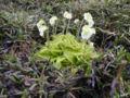 Pinguicula alpina - Slovenia.jpg