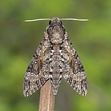 Pink-spotted hawk moth (Agrius cingulata) male.jpg