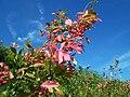 Pink leaf tree (3929807158).jpg