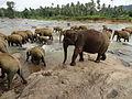 Pinnawala Elephant Orphanage 83.JPG