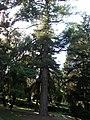 Pinus, 2020 Marcali.jpg
