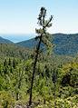 Pinus attenuata Big Basin State Park.jpg