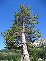 Pinus contorta Lassen.jpg