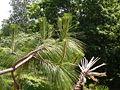 Pinus devoniana 02.jpg