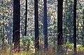 Pinus palustris DeSoto USDAFS.jpg