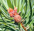 Pinus sylvestris youngcone.jpg