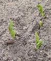 Pisum sativum emerging (Kiemplanten kreukerwten 'Kelvedon Wonder').jpg