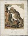 Pithecia leucocephala - 1773-1807 - Print - Iconographia Zoologica - Special Collections University of Amsterdam - UBA01 IZ19800046.tif