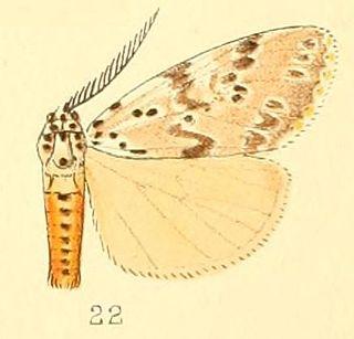 <i>Galtara</i> genus of insects