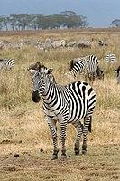 Zebra/