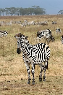 Zebra black and white striped animals in the horse family