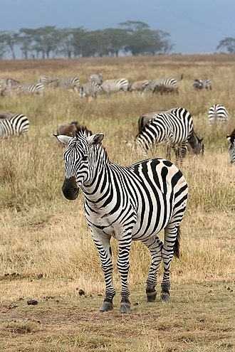 Zebra - A herd of plains zebra (Equus quagga)