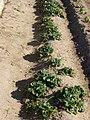 Plantón de fresas.JPG