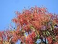 Plant Terminalia myriocarpa DSCN1358 03.jpg