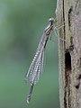 Platycnemis pennipes (Platycnemididae) (10797759903).jpg