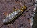 Plecoptera P1420684a.jpg
