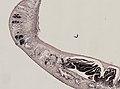 Pleioplana atomata (YPM IZ 073814) 45.jpeg