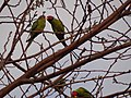 Plum-headed Parakeet - Psittacula cyanocephala - DSC00981.jpg