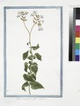 Plumbago flore albo. (Leadwort, skyflower) (NYPL b14444147-1125070).tiff