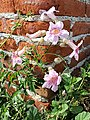 Podranea ricasoliana (Bignoniaceae).jpg