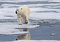 Polar bear - still wet from a close shave....jpg